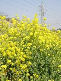 元気に伸びる菜の花