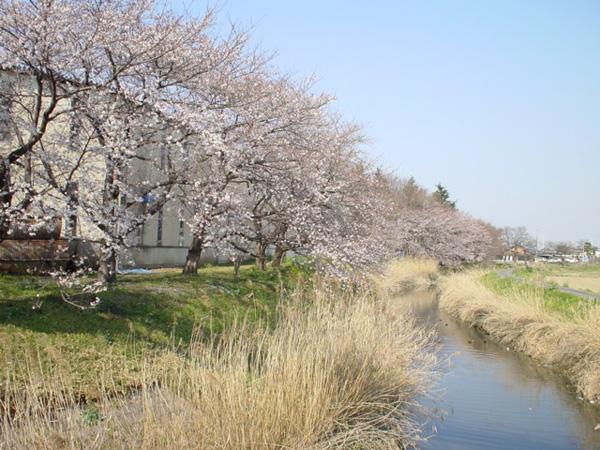 川越市の郊外、問屋町の桜