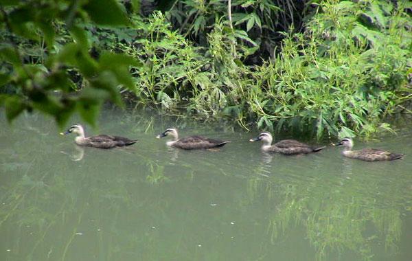 上福岡、新河岸川を行くカモの艦隊
