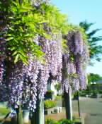 藤の花が満開