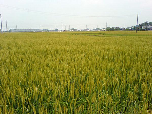 川越・麦畑