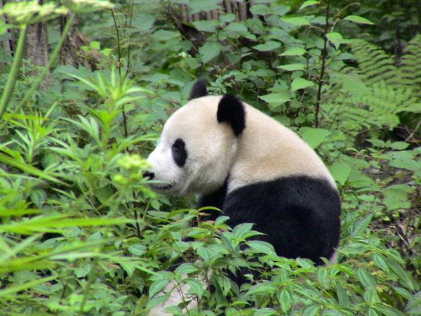 中国四川省、ジャイアントパンダ取材の様子