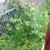 駐車場、つる草繁殖の季節が来た