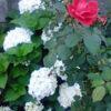 バラとアジサイのコンビネーション