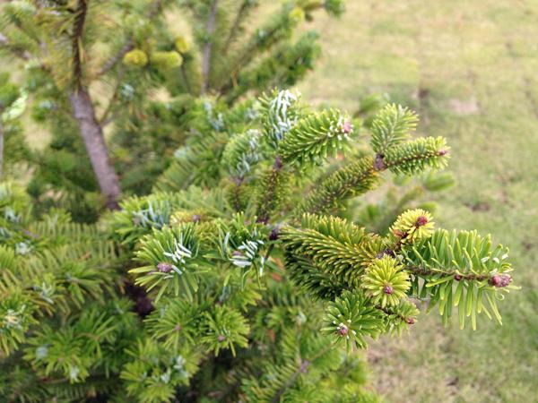モミの木の成長、芝生のメンテナンス
