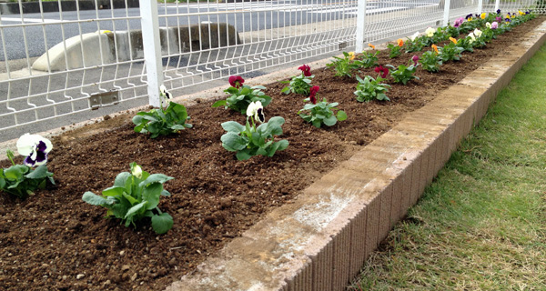 午前中、花壇にパンジーを40苗植えた