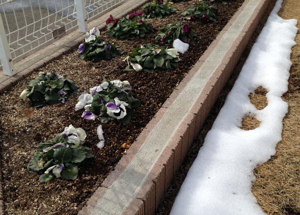 花壇が雪解け、クロッカスの芽が大きくなった