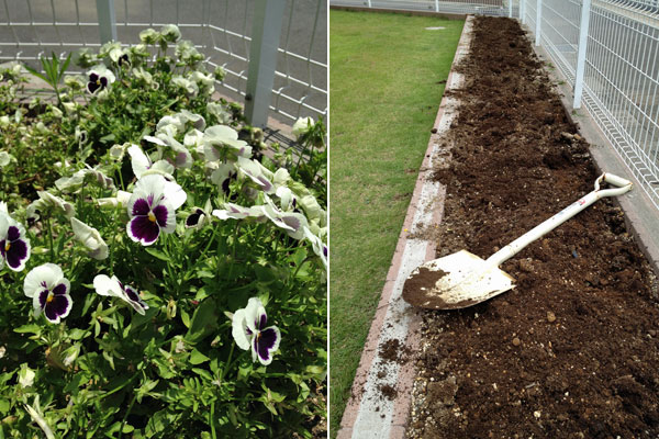 パンジー、花壇の整理