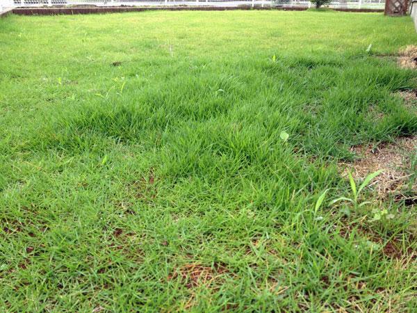 梅雨で庭の芝生がいたましい状況に