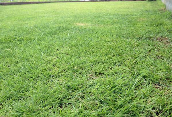 炎天下の中、先週挫折した芝生の整備を