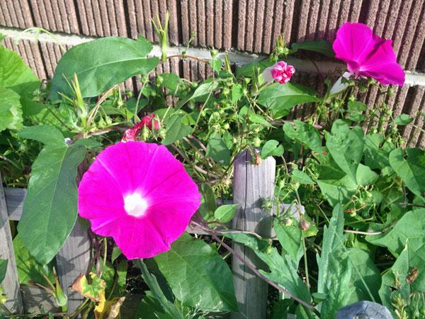 この夏放置した花壇に咲くアサガオの花