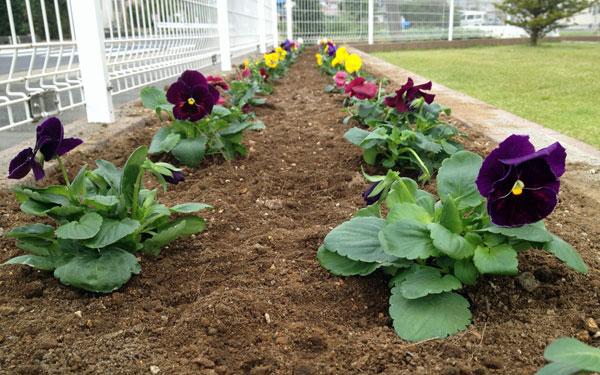 パンジー40苗を今年は早めに花壇に植えた