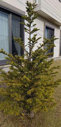 モミの木、どうもイメージと違う成長ぶり