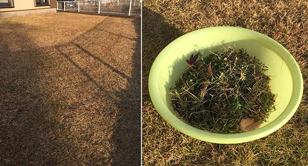 芝生の雑草抜き