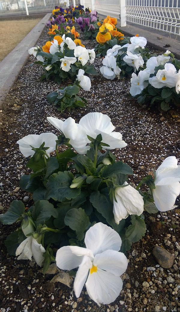 花壇のパンジーに園芸用土をふりかける