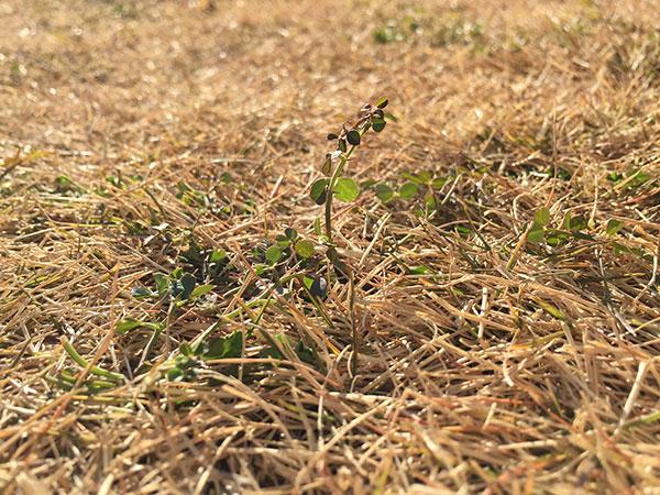 新年3日目、芝生の冬雑草を駆除