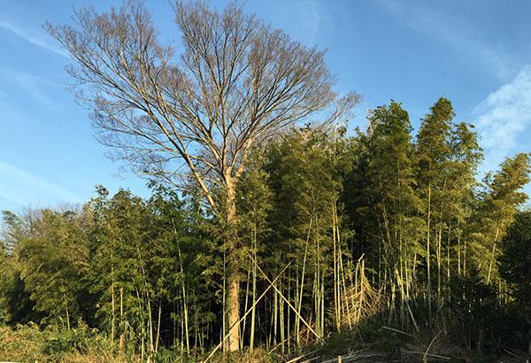 近くの竹やぶの伐採にちょっと心が痛む