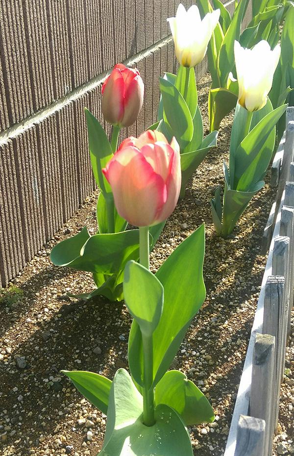 チューリップ、続いてピンクのみ開花