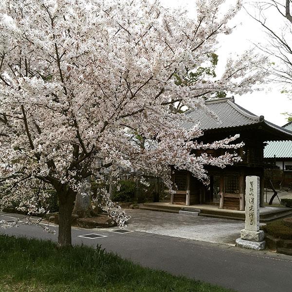 新河岸川沿いに蓮光寺へ、雨のお花見散歩