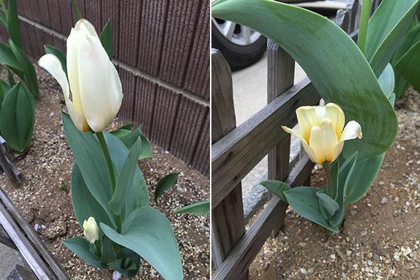 チューリップ、親子のように一株に二輪が開花