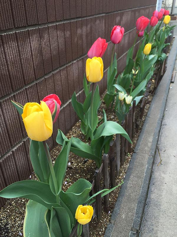 チューリップ、混色で植える際の注意事項