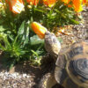 パンジーを引き抜き、花壇を更地に