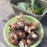 チューリップの収穫、ヒマワリの種まき