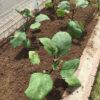 ナスを庭に植え付けてみた