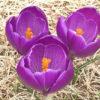 クロッカスが開花、微妙に増えつつある