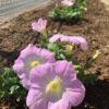 休ませていた花壇にペチュニアを植える