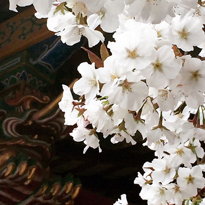 金王八幡宮の桜