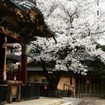 渋谷・金王八幡宮、桜が満開に