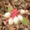 ブルーベリーの白い花が開花