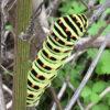 キアゲハの幼虫、枯れたイタリアンパセリを登る