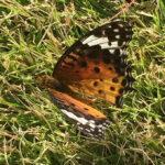 芝生に蝶々「ツマグロヒョウモン」が舞い降りた