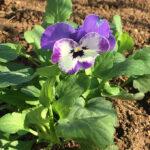 この秋冬シーズン、花壇の主役はビオラにした