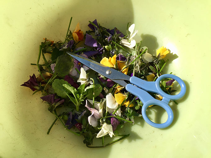 ビオラを植えて間もなくひと月、初めての剪定を