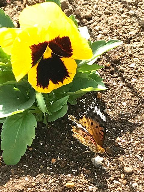 パンジーと蝶々