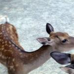 奈良公園の鹿