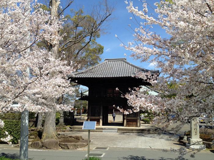 桜の蓮光寺
