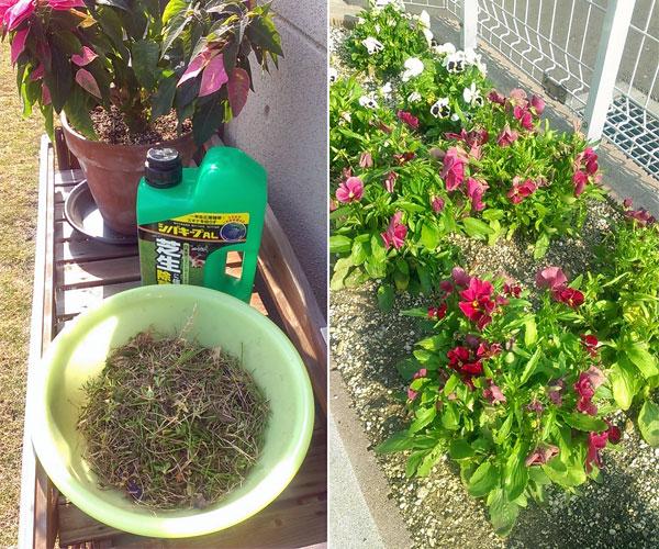 芝生の除草剤とパンジー