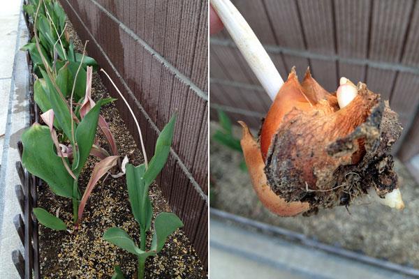 チューリップ 球根の収穫