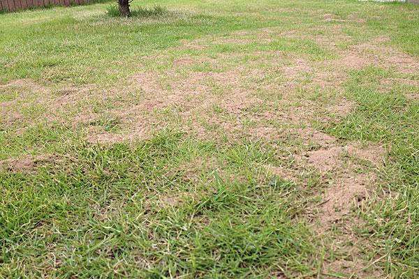 目土を施した芝生