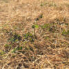 芝生の冬雑草