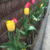 チューリップの開花