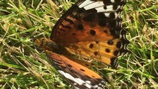 蝶・ツマグロヒョウモン