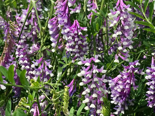 ナヨクサフジの花