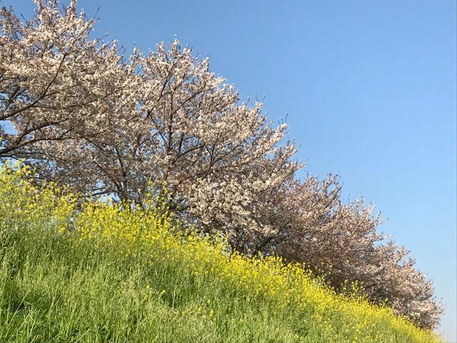 桜と菜の花が咲く新河岸川の土手