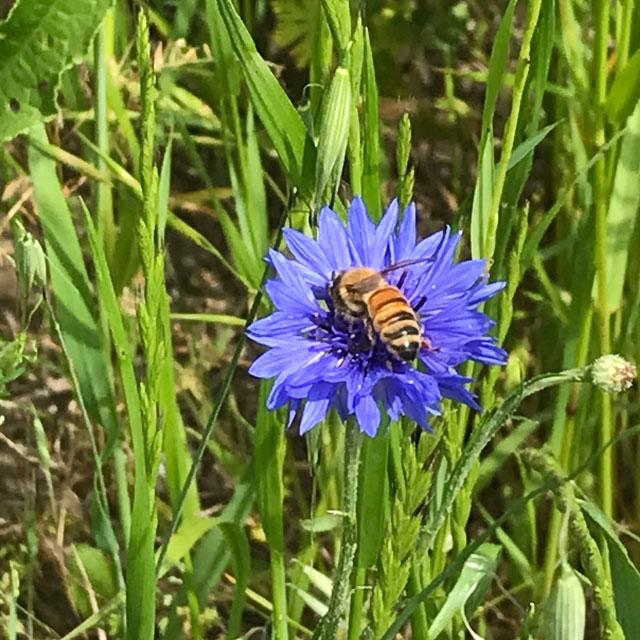 ミツバチとヤグルマギク