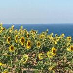 トルコのヒマワリ畑